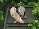 Gold - Barn Owlets Adrian Langdon