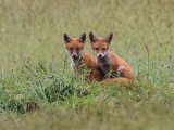 Gold - Fox cubs Adrian Langdon
