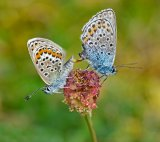 Gold - Silver studded Blues Adrian Langdon