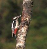 Greater Spotted Woodpecker Sally Lloyd-Jones