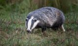 HC Nature - - Badger Passing By Lynda Mudle-Small