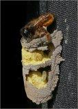HC Nature - Solitary Bee Repairing Nest John Evans-Jones
