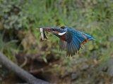Kingfisher with Lamprey (W) Adrian Langdon