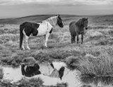 Moorland ponies Jeremy Shepherd