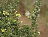 Our smallest bird the Goldcrest Sally Lloyd-Jones