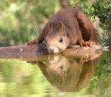 Red Squirrel Drinking Delia Trathen