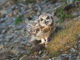 Short eared Owl with vole prey Adrian Langdon
