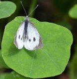 Silver - Female White Butterfly Norma Harbinson