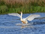 Silver - Swan action Adrian Langdon