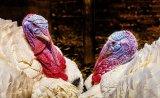 Silver - Turkeys Penry Archer
