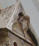 Sparrow feeding fledgeling  Norma Harbinson