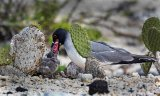 Swallow-tailed gull feeding chick (W) Penry Archer