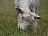 lamb crop Mike Benwell