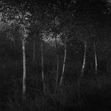 Night Birches