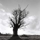 Knole Oak