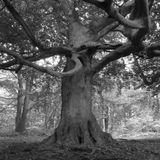Beech, Perry Wood