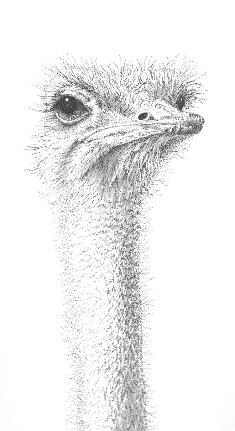 Ava Ostrich