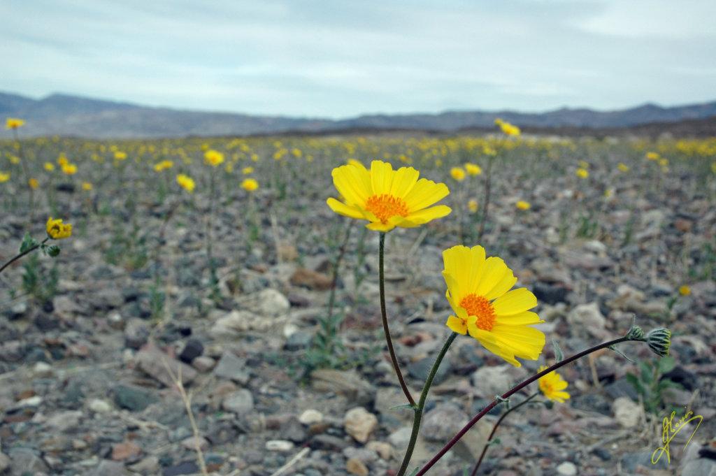 Desert Gold.