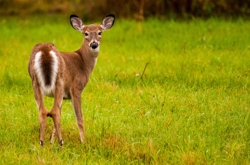 White-tailed Deer.