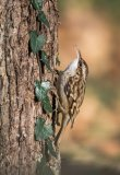2nd Cindy Carre Gillingham Short-toed Treecreeper