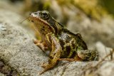 2nd Nigel Byrom Close Up Common Frog