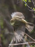 3rd Berni Kerrigan Nature Open Willow Warbler taking off