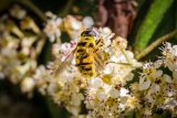 4th Derek Bridel AFIAP BPE2 Close Up Myathropa Florea-Hover Fly