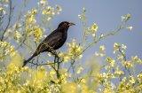 Berni Kerrigan Gillingham Foraging Blackbird on Wild Radish