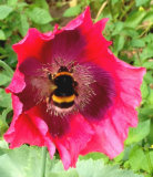 Chris Marquis Close up Bee Popping In