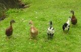 Chris Marquis Gillingham Ducks 1