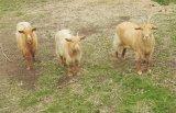 Chris Marquis Gillingham Golden Guernsey Goat
