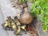 Chris Marquis Gillingham Mum & her Ducklings