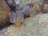 Chris Marquis Gillingham Sea Anenomes