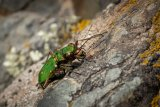 Cindy Carre Close Up Green Tiger Beetle