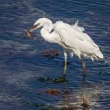 Derek Bridel AFIAP BPE2 Gillingham Little Egret