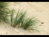 Derek Tostevin APAGB BPE1  Gillingham  Dune Grasses