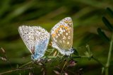 Eric Ferbrache Gillingham Common Blues Paired