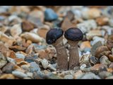 Godfray Guilbert Close up Black-capped fungi