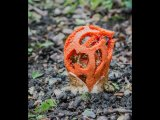 Godfray Guilbert Close up Clathrus ruber