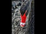 Jo Mahy Close up Black swan cu