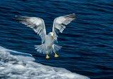 Merit Berni Kerrigan Gillingham Lesser Black Back Gull coming in to land