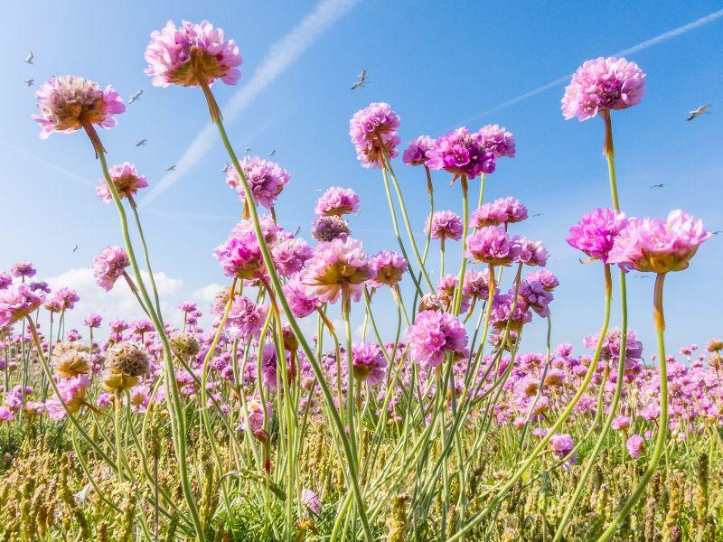 Guernsey photographic club nigel byrom gillingham sea pinks mightylinksfo
