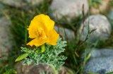 Nigel Byrom Gillingham Yellow Horned Poppy