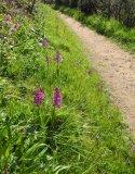 Robin Millard Gillingham Early Purple Orchids