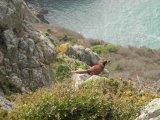 Robin Millard Gillingham Pheasant on Cliff Top