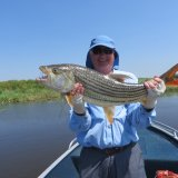 Tiger fish, caught on a fly, landed in a cold box!