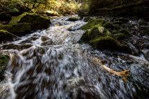 Chum Salmon swimming upstream