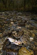 Dead Pink Salmon