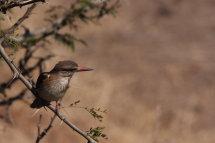 Brownheaded Kingfisher