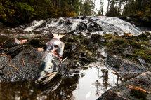 Dead Sockeye Salmon